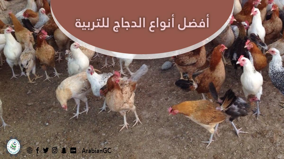 أفضل أنواع الدجاج للتربية d.php?hash=KI6RYQY8Z
